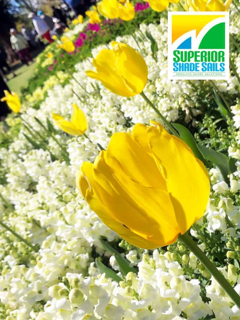 Carnival of Flowers,Toowoomba-Snapdragson & Tulips Image by Superior Shade Sails