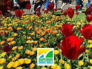 Carnival of Flowers - Calendulars image: Superior Shade Sails