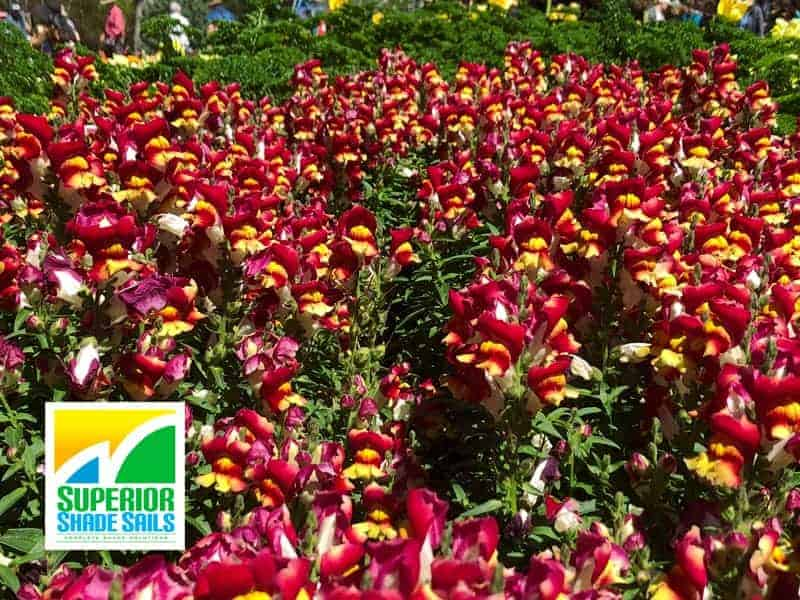 Carnival of Flowers, Toowoomba-Snapdragons - Image: Superior Shade Sails