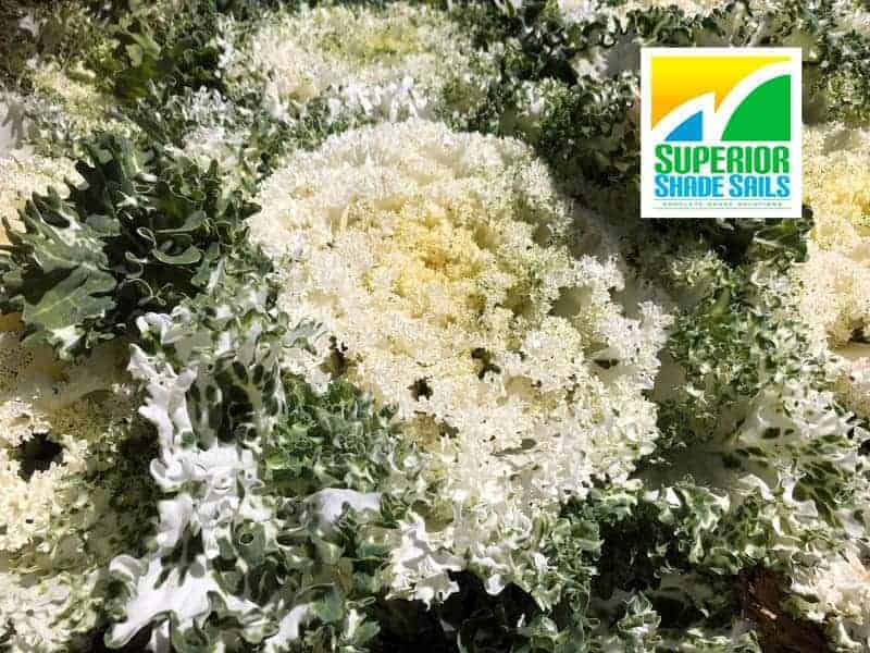 Carnival of Flowers, Toowoomba-Ornamental Kale Cabbage- Image: Superior Shade Sails